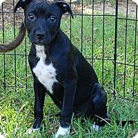 Labrador Retriever Mix Puppy for adoption in Southbury, Connecticut - Talia