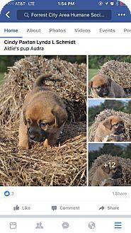 Labrador Retriever Mix Puppy for adoption in Harrisburg, Pennsylvania - Audra (adopted)