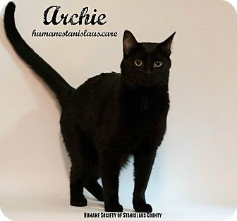 Domestic Shorthair Cat for adoption in Modesto, California - Archie