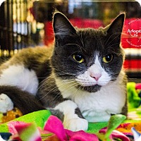 Domestic Shorthair Cat for adoption in Mooresville, North Carolina - A..  Grace