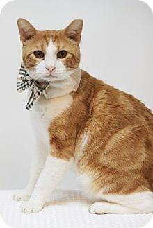 Domestic Shorthair Cat for adoption in Richardson, Texas - Mordecai