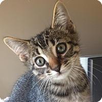 Adopt A Pet :: Mojave - Rochester Hills, MI