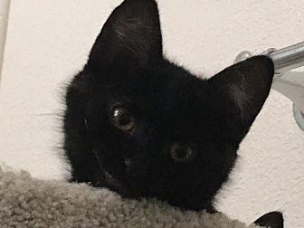 Domestic Shorthair Cat for adoption in Walnut Creek, California - Mytee see video
