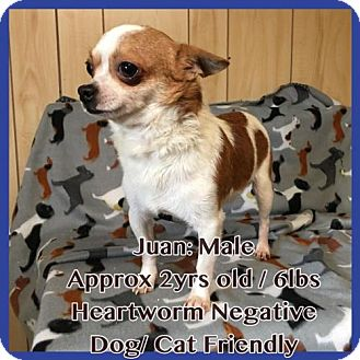 Chihuahua Dog for adoption in greenville, South Carolina - Juan