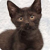 Domestic Shorthair Kitten for adoption in Encinitas, California - Yahoo
