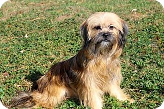 Yorkie, Yorkshire Terrier Mix Dog for adoption in Hagerstown, Maryland - FANTASTIC FAYE