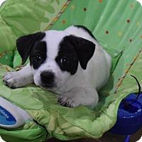Jack Russell Terrier Mix Puppy for adoption in Alpharetta, Georgia - Bubbie