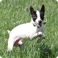 Rat Terrier Dog for adoption in Fairmont, West Virginia - Rizzo