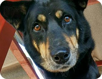 Rottweiler/Labrador Retriever Mix Dog for adoption in Toronto, Ontario - Cedric