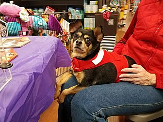 Chihuahua Mix Dog for adoption in Quentin, Pennsylvania - Bear - Active & Friendly!