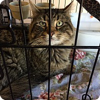 Adopt A Pet :: Mainecoon mix - Clay, NY