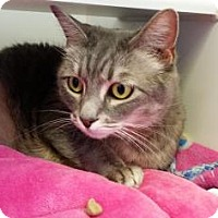 Adopt A Pet :: Cassiopeia - Reisterstown, MD