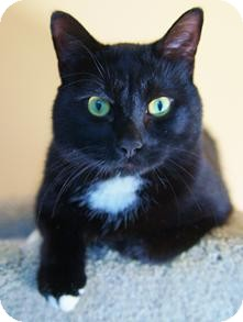 Domestic Shorthair Cat for adoption in Medford, Massachusetts - Clyde