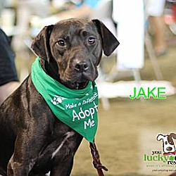 Photo 2 - Labrador Retriever/Pit Bull Terrier Mix Dog for adoption in Alpharetta, Georgia - Jake