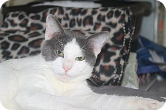 Domestic Shorthair Cat for adoption in New Port Richey, Florida - Thomas