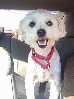 Bichon Frise Mix Dog for adoption in Cedar Creek, Texas - Charlie