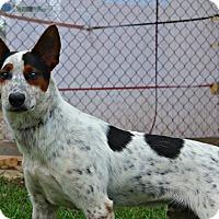 Adopt A Pet :: Spazz - Shreveport, LA