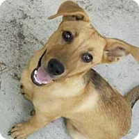 Shepherd (Unknown Type)/Corgi Mix Dog for adoption in Disney, Oklahoma - Lois