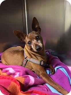 Miniature Pinscher Dog for adoption in Wilmington, Delaware - Donner