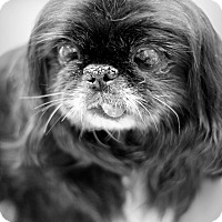 Pekingese Mix Dog for adoption in College Station, Texas - Licorice (10.08 pounds)