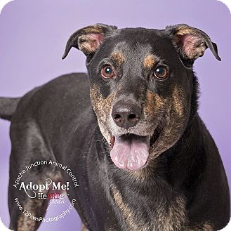 Labrador Retriever Mix Dog for adoption in Apache Junction, Arizona - Loki