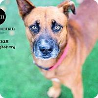 Chow Chow Mix Dog for adoption in Kansas City, Missouri - Chuckie