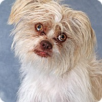 Shih Tzu Mix Dog for adoption in Encinitas, California - Leander