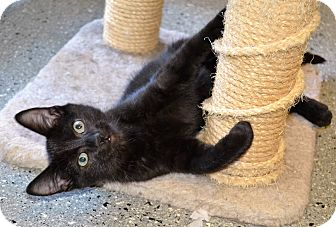 Domestic Shorthair Cat for adoption in Michigan City, Indiana - Toulouse