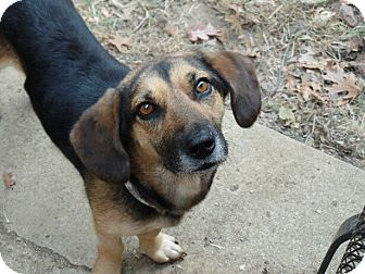 Basset Hound/Beagle Mix Dog for adoption in Haggerstown, Maryland - Lucille
