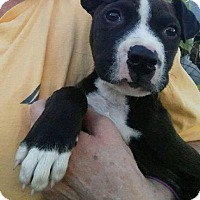 Pit Bull Terrier Mix Puppy for adoption in Dayton, Ohio - Kekoa