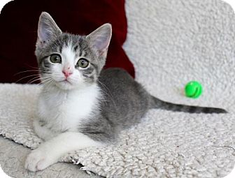 Domestic Shorthair Kitten for adoption in jacksonville, Florida - I'M EMMY! I'M THE BABY!