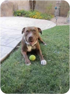 American Pit Bull Terrier Mix Dog for adoption in Scottsdale, Arizona - Maggie
