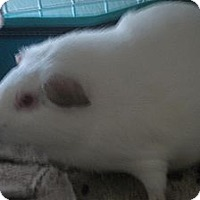 Adopt A Pet :: Sam - San Antonio, TX