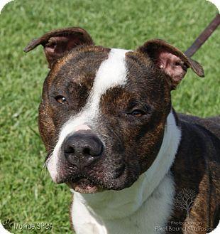 American Bulldog/Boxer Mix Dog for adoption in Monroe, Michigan - Eastwood