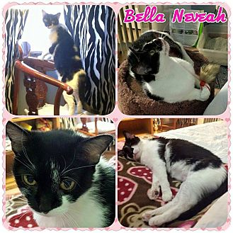 Domestic Shorthair Cat for adoption in Winchester, Virginia - Bella Neveah