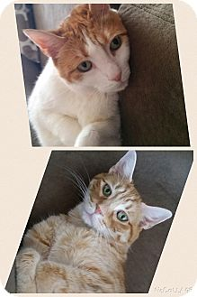 Domestic Shorthair Cat for adoption in Turnersville, New Jersey - Cindi