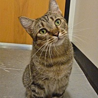 Domestic Mediumhair Cat for adoption in Capshaw, Alabama - Lucas