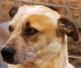 Labrador Retriever/Bull Terrier Mix Dog for adoption in Oakland, Arkansas - Duncan