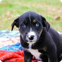 Adopt A Pet :: Phoebe $250 - Seneca, SC