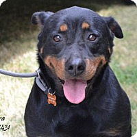 Rottweiler Dog for adoption in Conroe, Texas - Nora