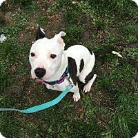 American Pit Bull Terrier Mix Dog for adoption in Manhattan, New York - Shannara