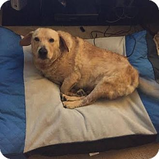 Golden Retriever/Basset Hound Mix Dog for adoption in San Antonio, Texas - Baloo