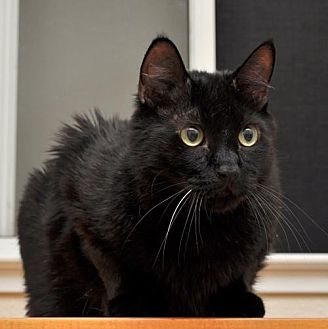 Domestic Shorthair Cat for adoption in Roseville, California - Cazader