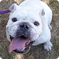 English Bulldog Dog for adoption in Santa Ana, California - Lola