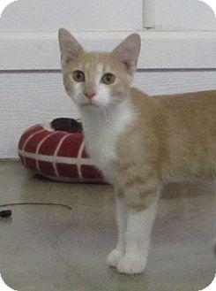 Domestic Shorthair Kitten for adoption in Jackson, Missouri - BUTTERS