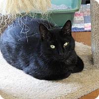Domestic Shorthair Cat for adoption in Joplin, Missouri - Captian