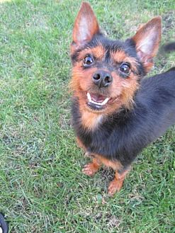 Yorkie, Yorkshire Terrier/Terrier (Unknown Type, Medium) Mix Dog for adoption in Chicago, Illinois - Zandra