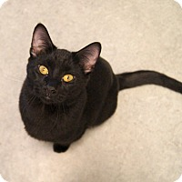 Domestic Shorthair Cat for adoption in Colorado Springs, Colorado - Sunset