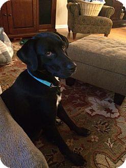 Labrador Retriever Mix Dog for adoption in Keyport, New Jersey - Lady