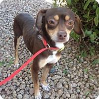 Adopt A Pet :: Doc - Phoenix, AZ